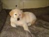 Pillow Puppy